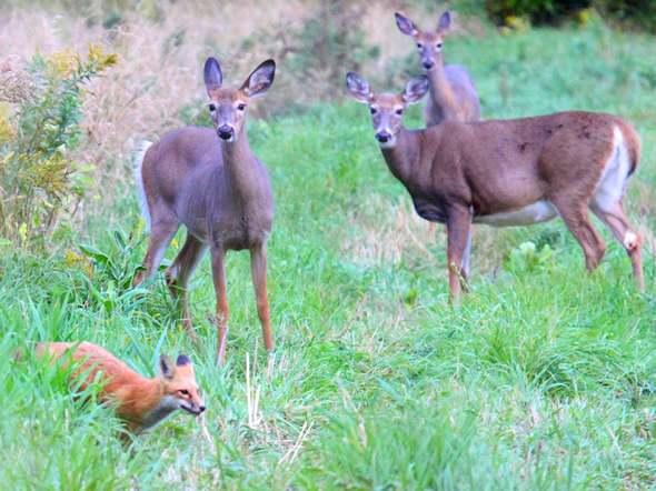 http://maud96.cowblog.fr/images/1/renardchevreuils.jpg