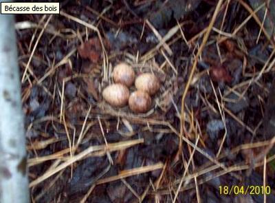 http://maud96.cowblog.fr/images/Nidbecasse.jpg